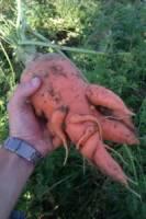 deformed carrot