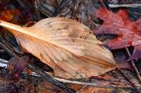 leaf necrosis