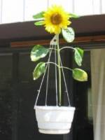 sunflower in hanging pot