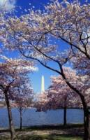 cherry trees in DC