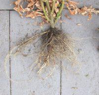 tomato plant roots