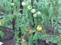 Celebrity tomato plant