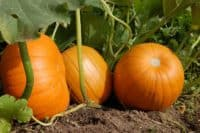 pumpkins on vine