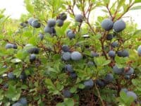 blueberry bush
