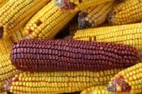 red and yellow ears of corn