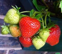 ripening strawberries