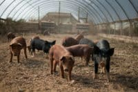 pigs in hoop house