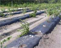 black plastic mulch