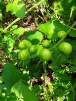 small green tomatoes on vine
