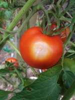 sunscald on tomato
