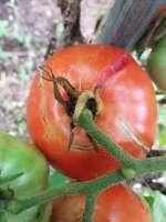 cracked tomato