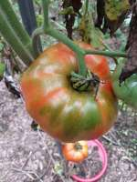 green shoulders on tomato