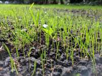 grass sprouting