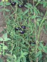 blue purple tomatoes