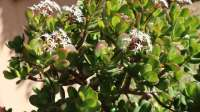 jade plant with white flowers