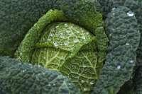 kale leafy green