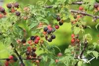 black raspberry plant