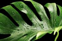 wet Monstera leaves
