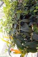Aeschyanthus-speciousus-Basket-Vine