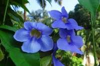 Bengal Clock Vine blue flowers