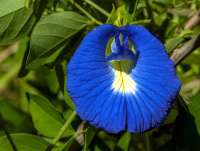 Butterfly Pea blue flowers