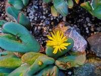 Conophytum meyeri yellow flower