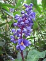 Blue Ginger flowers