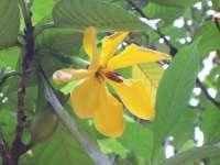 Gardenia carinata yellow flower