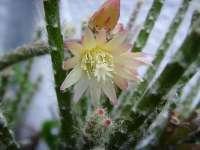 Rhipsalis white flower