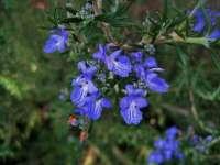 Rosemary blue flowers