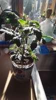 tomato plant 3-6-2021