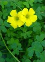 oxalis yellow flowers