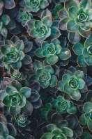 succulent echeveria