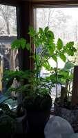 tomato plant 3-22-2021