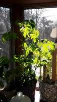 tomato plant 3-23-2021