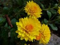 yellow mums flower