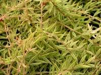 Carpet Sedum