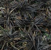 Mondo Grass