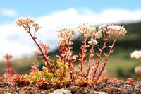 Sedum pink leaves