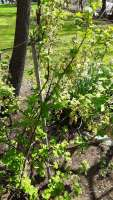 currant in late April