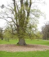 mulch ring around tree