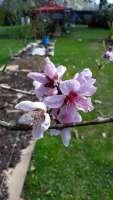 peach blossom in late April