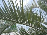 pindo palm fronds