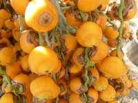 pindo palm ripe fruit