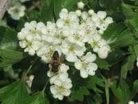 British Hawthorn tree flowers