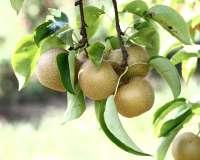 Hosui Asian Pears