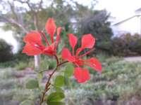 Red Bauhinia