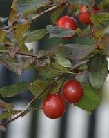 santa rosa plums on tree