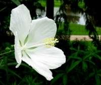 White Texas Star Hibiscus