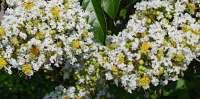 crepe myrtle tree flowers